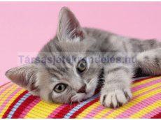 Puzzle 500 db-os Szürke cica - Clementoni Grey kitten (30362)