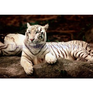 Trefl Bengáli tigris 1500 db-os puzzle (26075)